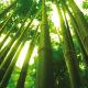Bambu ağacı nasıl yetişir