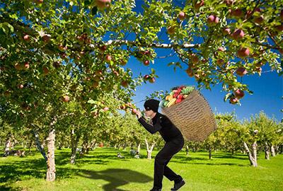 Meyve hırsızı